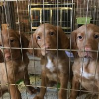 Purebred Hunting Red Setter male pups