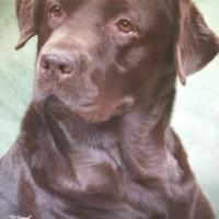 Chocolate Lab Puppy Female