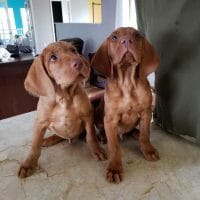 2 AKC Wirehaired Vizslas - 8.5 weeks old