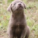 AKC lab puppies makes good hunt companion or pet friend