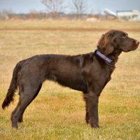 German Longhaired Pointer/Deutsch Langhaar puppies - Excellent hunting dogs!