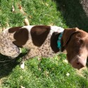 German Shorthaired Pointer (GSP)
