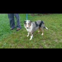 AKC Registered Shetland Sheepdog
