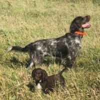 German Longhaired Pointer Pups - FOR SALE