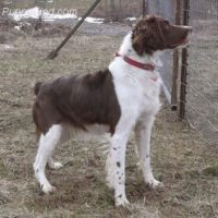 Briitany breeder in PA