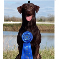 15 Hall of Fame sires-Excellent Hunting/ National Field Champion Lines- 13 week old pups
