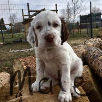 6 NKC registered Llewellin Setter Puppies