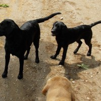 AKC American Field Labrador Retrievers out of top field trial and hunt test bloodlines.